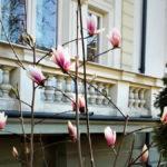 În București au înflorit magnoliile